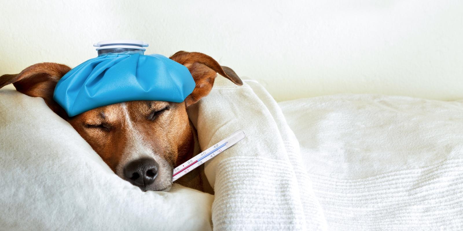 bigstock-Sick-Ill-Dog-90002564